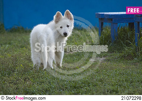 Free White Swiss Sheep-dog_11 Royalty Free Stock Photos - 21072298