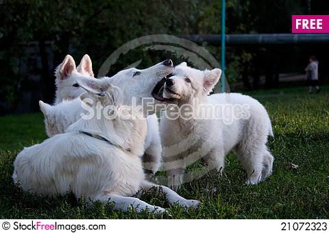 Free White Swiss Sheep-dog_7 Stock Photos - 21072323
