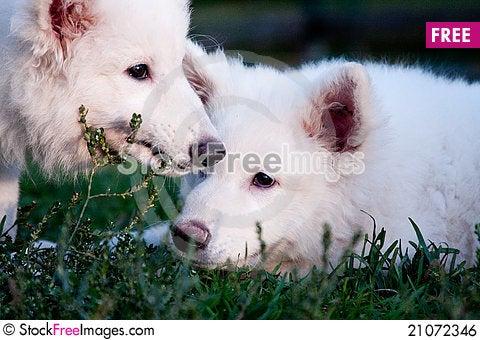Free White Swiss Sheep-dog_6 Royalty Free Stock Image - 21072346