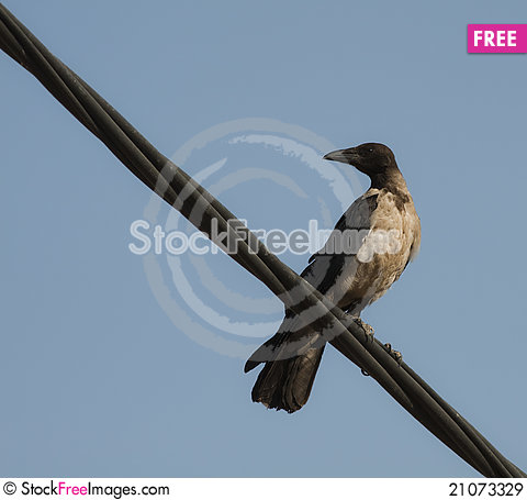 Free Hooded Crow (Corvus Cornix) Royalty Free Stock Images - 21073329