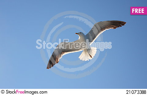 Free Seagull In Fly Royalty Free Stock Photos - 21073388