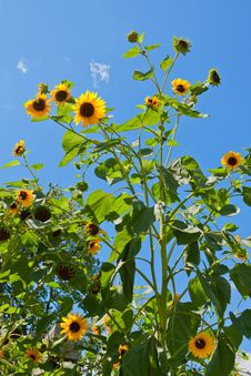 Free Bright Sunflower. Royalty Free Stock Photography - 21070507