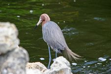 Free Reddish Egret Royalty Free Stock Photography - 21071587
