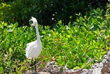 Free Snowy Egret Stock Photos - 21071633