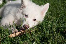 Free White Swiss Sheep-dog_3 Stock Photo - 21072060