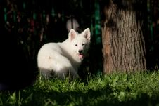 Free White Swiss Sheep-dog_16 Stock Images - 21072084
