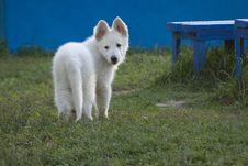 Free White Swiss Sheep-dog_11 Royalty Free Stock Photos - 21072298
