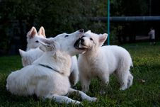 Free White Swiss Sheep-dog_7 Stock Photos - 21072323