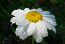 Free White Daisy Royalty Free Stock Photography - 21072637