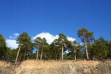 Free Tall Pines On A Steep Slope Royalty Free Stock Photo - 21073065