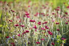 Free Dianthus Royalty Free Stock Photography - 21074547