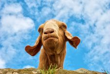 Free Humorous Portrait Of A Goat Royalty Free Stock Photography - 21078457