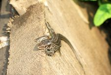 A Small Gray Lizard. Royalty Free Stock Photos
