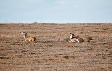 Free Couple Wild Antelopes Royalty Free Stock Photos - 21079228