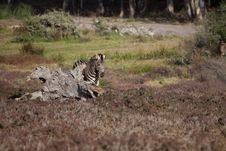 Free Wild Zebra Stock Image - 21079261