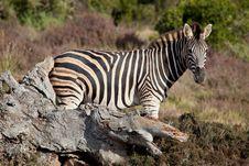 Free Wild Zebra Royalty Free Stock Image - 21079276