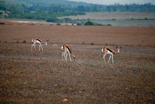 Free Wild Antelopes Royalty Free Stock Photo - 21079365