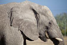 Free Elephant Royalty Free Stock Photos - 21079438