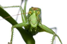 Free Green Grasshopper Royalty Free Stock Image - 21079836