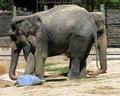 Free Two Headed Elephant Royalty Free Stock Photo - 21080315