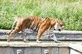 Free Walking Tiger (Panthera Tigris) Royalty Free Stock Images - 21082969