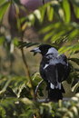 Free Australian Magpie Stock Photography - 21086232