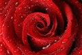 Free Red Rose Royalty Free Stock Image - 21088456