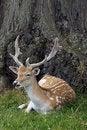Free Fallow Deer Stock Photography - 21089842