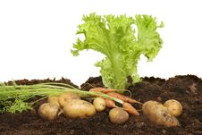 Free Lettuce, Carrots And Potatoes Royalty Free Stock Photos - 21080068