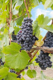 Red Wine Grapes Growing On Vines Vertical Royalty Free Stock Photos