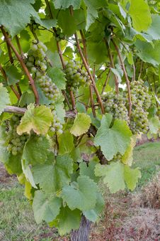 Free Vineyard White Wine Grapes Royalty Free Stock Image - 21080846