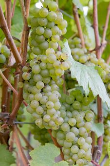 Free Bunches Of White Wine Grapes Stock Photos - 21080853
