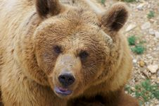 Free Angry Brown Bear Portrait Stock Images - 21082004