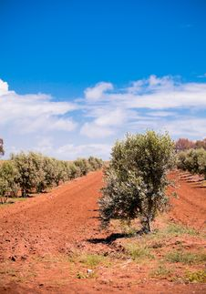 Free Olive Trees Royalty Free Stock Photography - 21082037