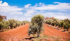 Free Olive Trees Royalty Free Stock Photos - 21082038