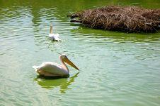 Pelican Stock Photos