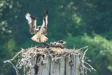 Free Osprey Nest Landing Royalty Free Stock Photography - 21083157