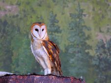Free Barn Owl Stock Photography - 21083502