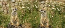 Free The Meerkat Or Suricate Royalty Free Stock Photography - 21085467