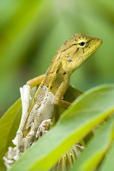Free Thai Chameleon On Tree Royalty Free Stock Images - 21085939