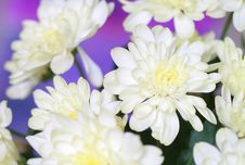 Free Chrysanthemum Stock Image - 21086701