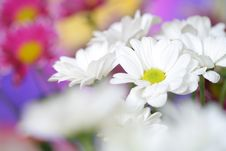 Free Chrysanthemum Royalty Free Stock Image - 21086736