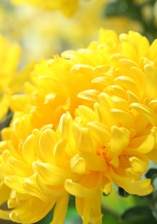 Free Chrysanthemum Stock Image - 21086801