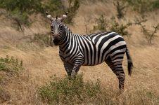 Free Zebra Stock Image - 21087151