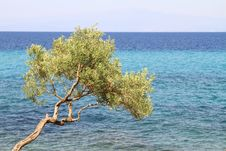 Free Olive Tree Stock Photos - 21087833