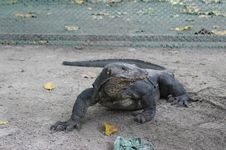 Free Monitor Lizard Royalty Free Stock Photo - 21088615