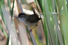 Free Marsh Wren, Cistothorus Palustris Stock Images - 21089914