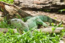 Free Iguana Royalty Free Stock Images - 21089939