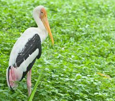 Free Painted Stork Bird Royalty Free Stock Image - 21089986