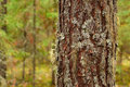 Free Old Pine Trunk Stock Images - 21093204